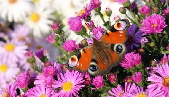 Flowers with Peacock butterfly